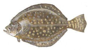 Flounder, Tightline, Outer Banks, NC