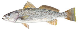 Weakfish, Gray Trout, Tightline, Outer Banks, NC